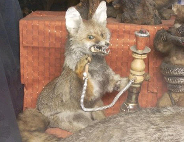 SHISHA FOX