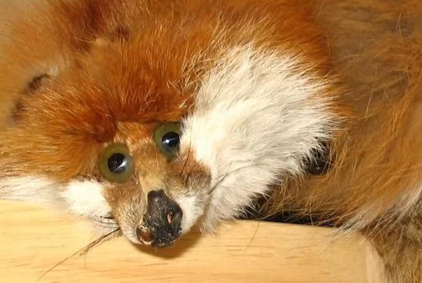 SQUASHED FOX